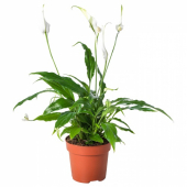 СПАТИФИЛЛУМ Растение в горшке, Спатифиллум, 12 см