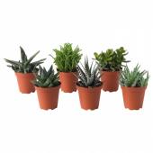 СУККУЛЕНТЫ Растение в горшке, различные растения, 9 см