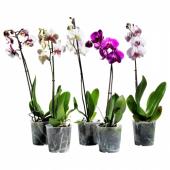 ФАЛЕНОПСИС Растение в горшке, Орхидея, 1 стебель, 12 см
