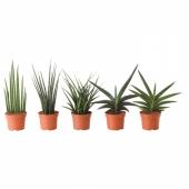 САНСЕВИЕРИЯ Растение в горшке, различные растения, 12 см