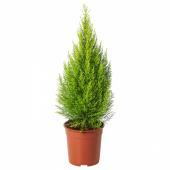 КИПАРИС КРУПНОПЛОДНЫЙ Растение в горшке, кипарис, 24 см