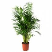 ДИПСИС ЖЕЛТОВАТЫЙ Растение в горшке, Хризалидокарпус желтоватый, 24 см