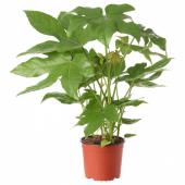 ФАТСИЯ ЯПОНСКАЯ Растение в горшке, Фатсия японская, 17 см