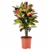 КОДИЕУМ Растение в горшке, кротон, 19 см