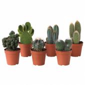 КАКТУС Растение в горшке, различные растения, 12 см