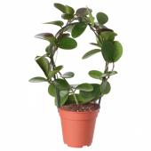 ХОЙЯ Растение в горшке, восковое дерево, 12 см