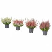 КАЛЛУНА Растение в горшке, вереск, разные цвета, 13 см