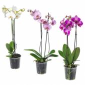 ФАЛЕНОПСИС Растение в горшке, Орхидея, 2 стебля, 12 см