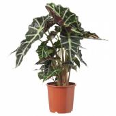 АЛОКАЗИЯ АМАЗОНИКА Растение в горшке, 17 см