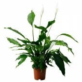 СПАТИФИЛЛУМ Растение в горшке, Спатифиллум, 24 см