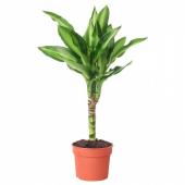 ДРАЦЕНА Растение в горшке, 9 см